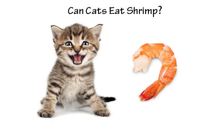 Can Cats Eat Shrimp