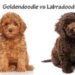 Goldendoodle vs Labradoodle