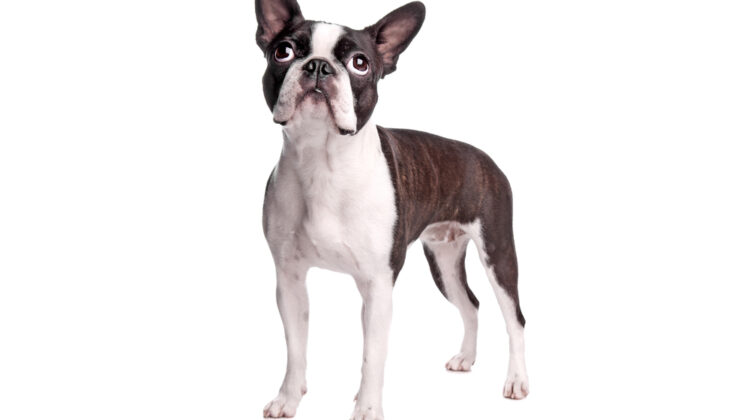 boston terrier boxer mix