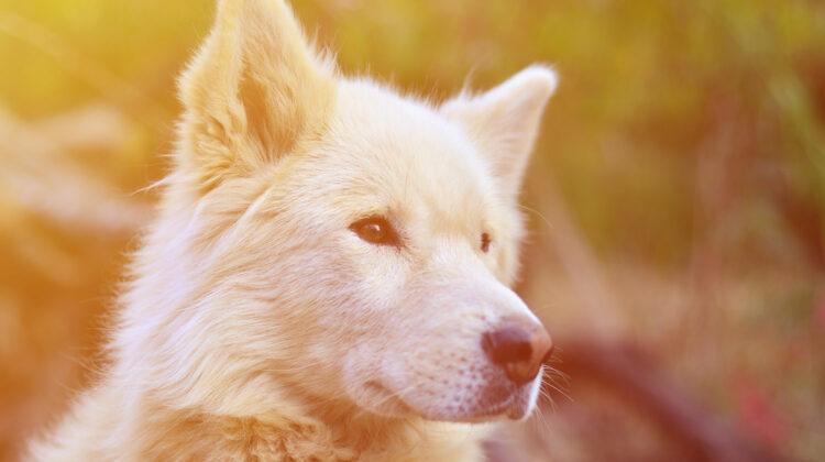 Samoyed Husky mix