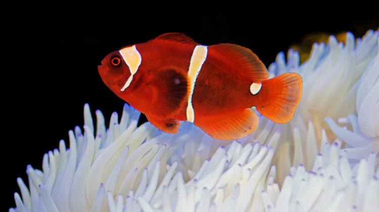 Maroon Clownfish